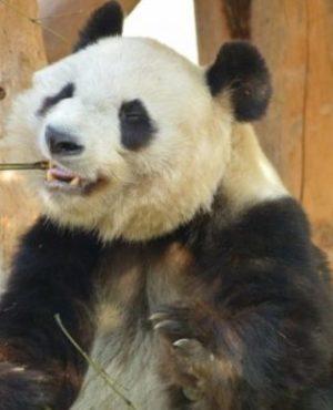 片方で噛む-パンダ